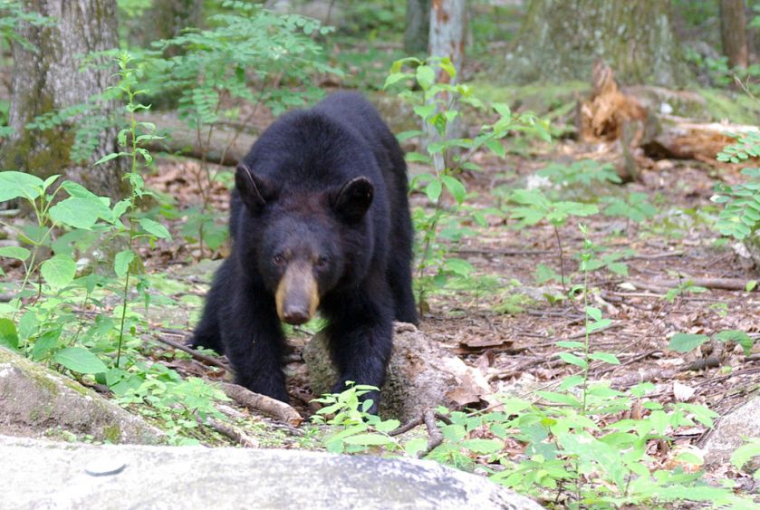 1024px-Juvenile_American_black_bear_at_Old_Rag_mountain