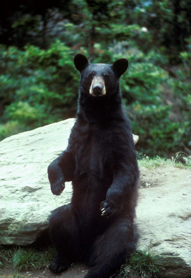 800px-Black_bear_large