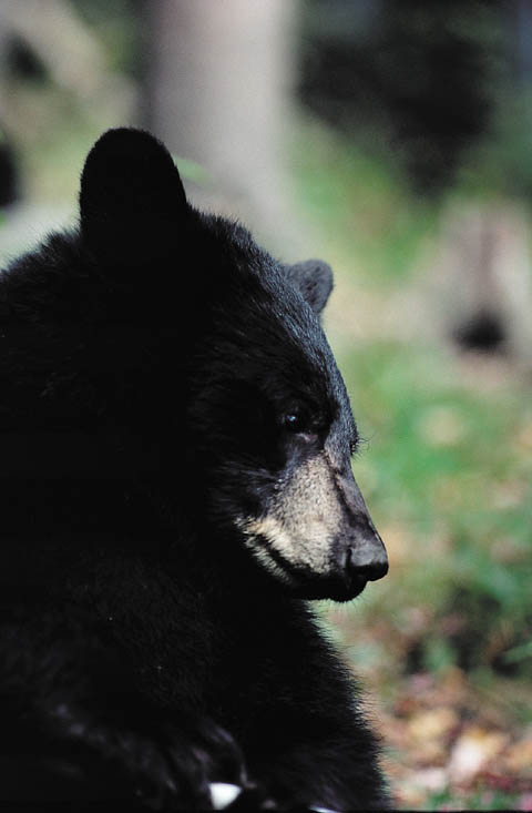 American_Black_Bear_close-up